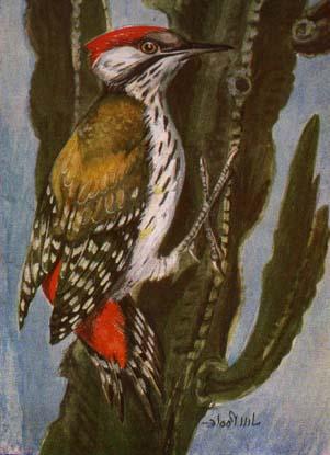 turaco flying